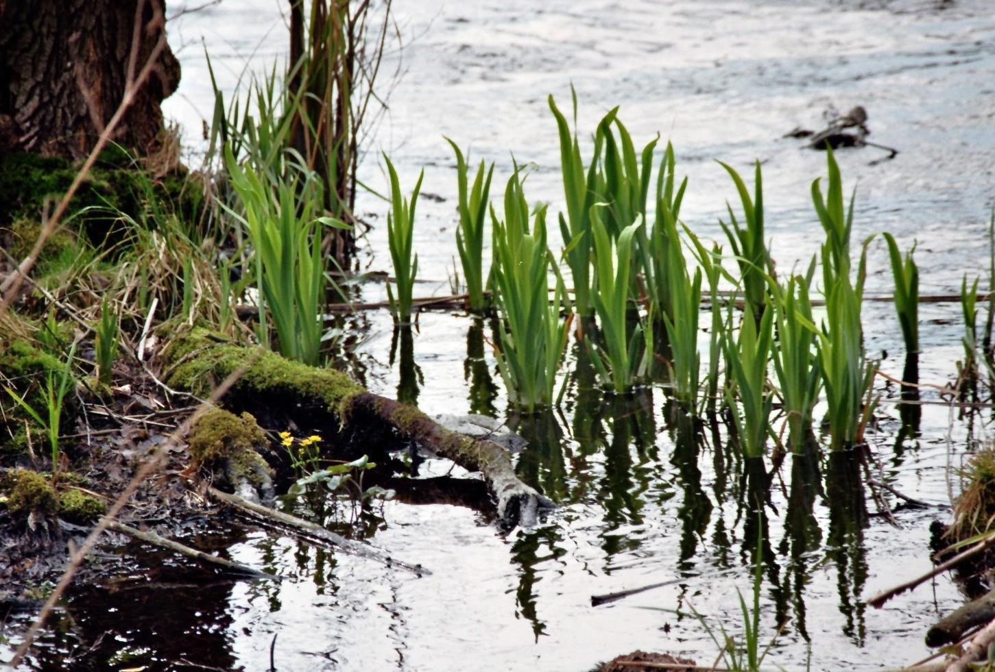Schwertlilien am Ufer