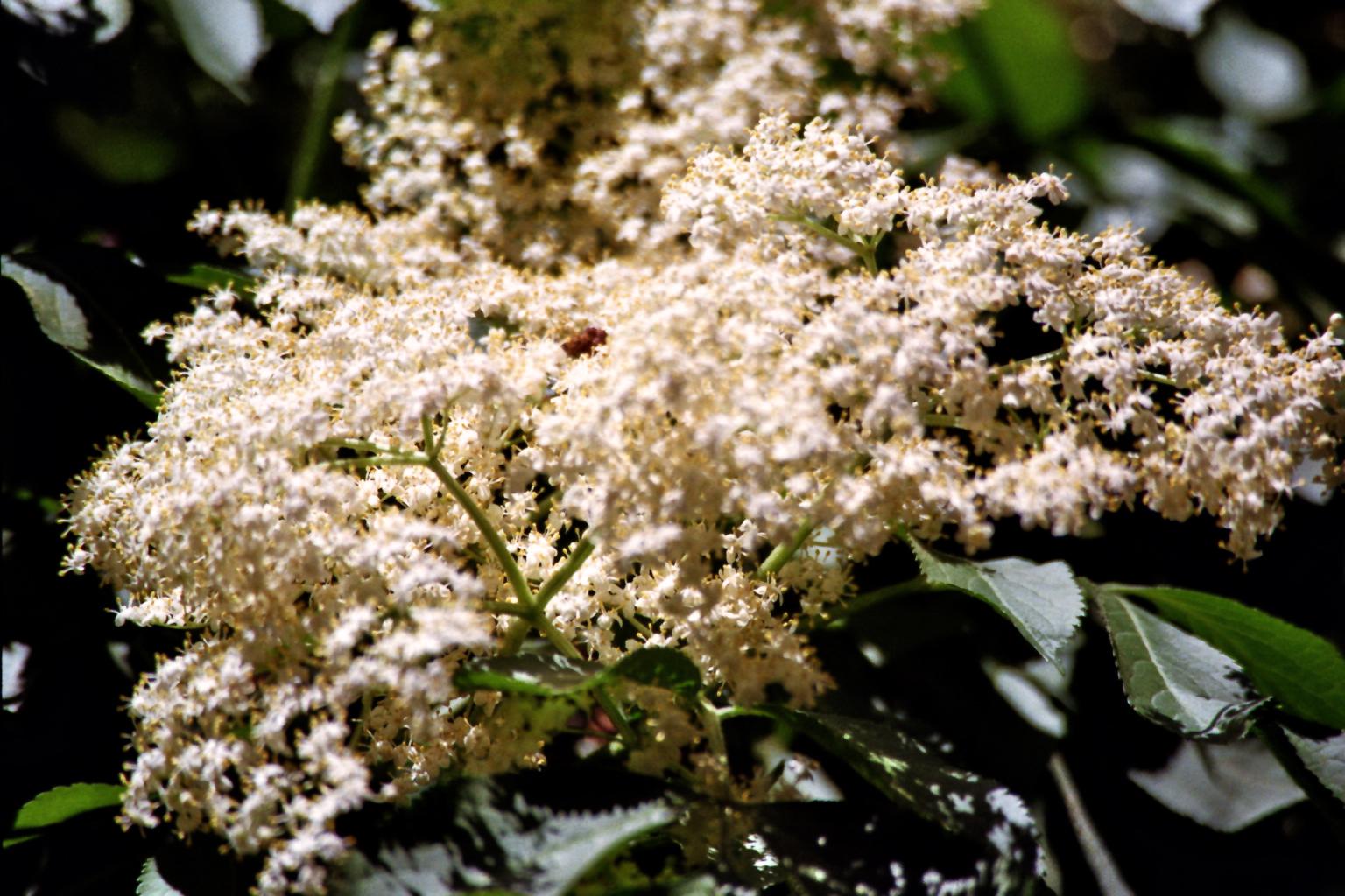 Holunderblüte