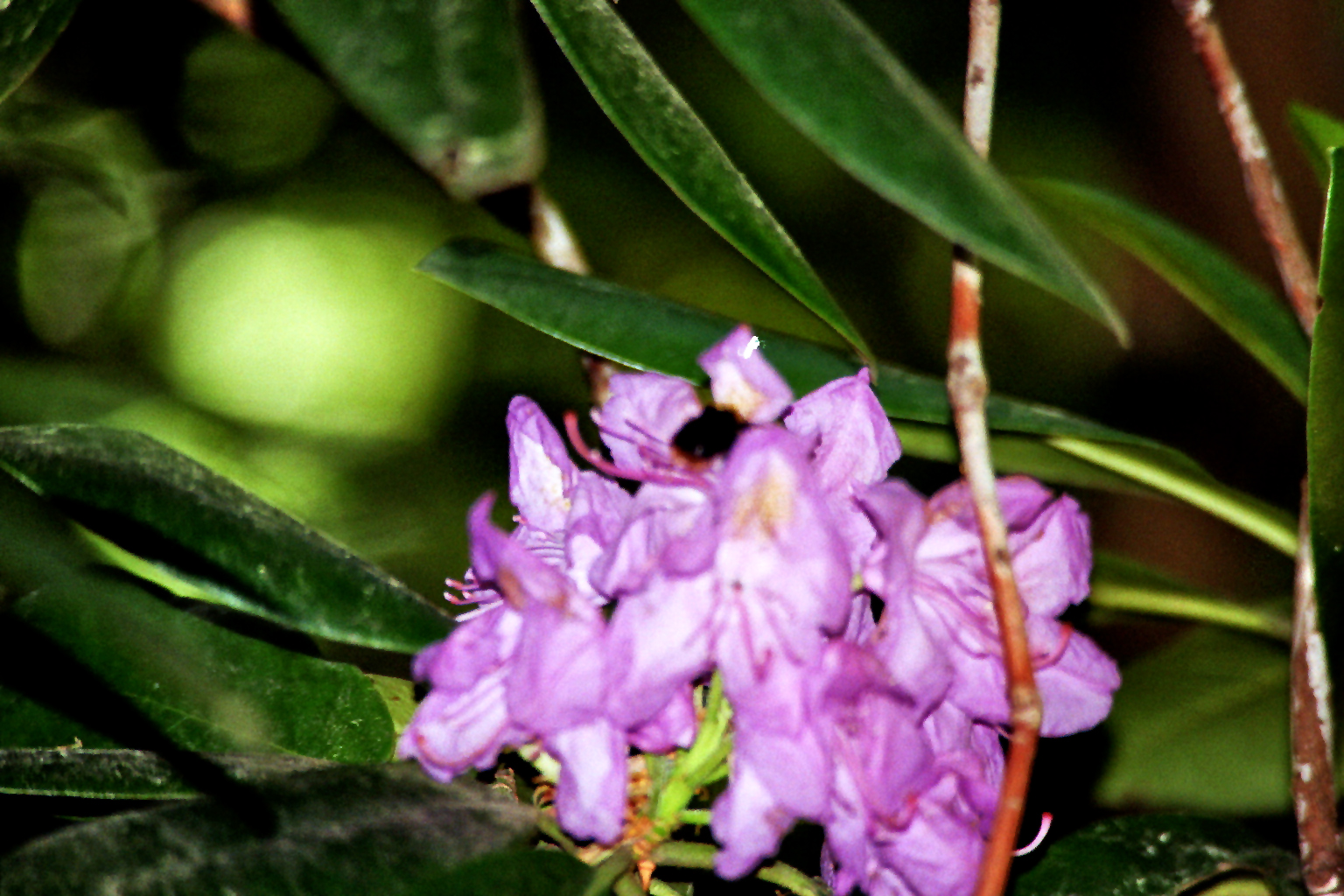 Rhododendron (Rhododendronhain Hasenheide)