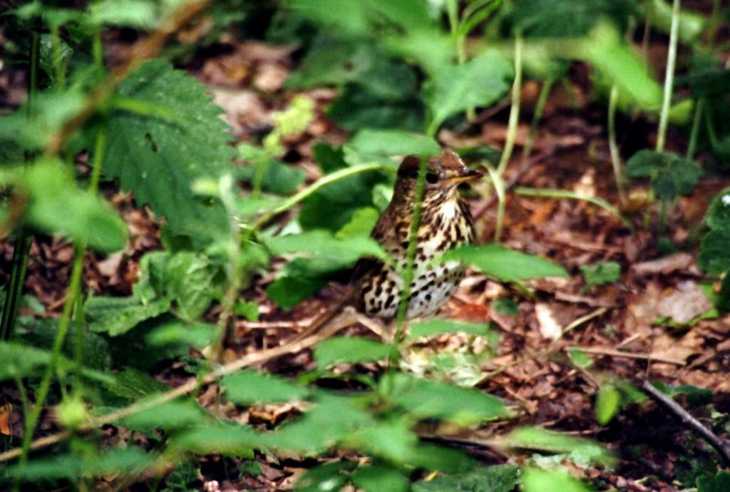 Singdrossel (Hasenheide)