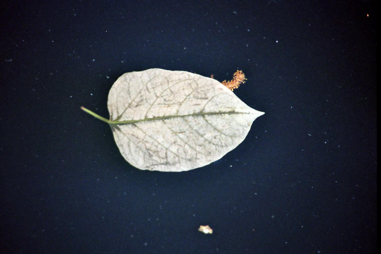 Wasserblatt