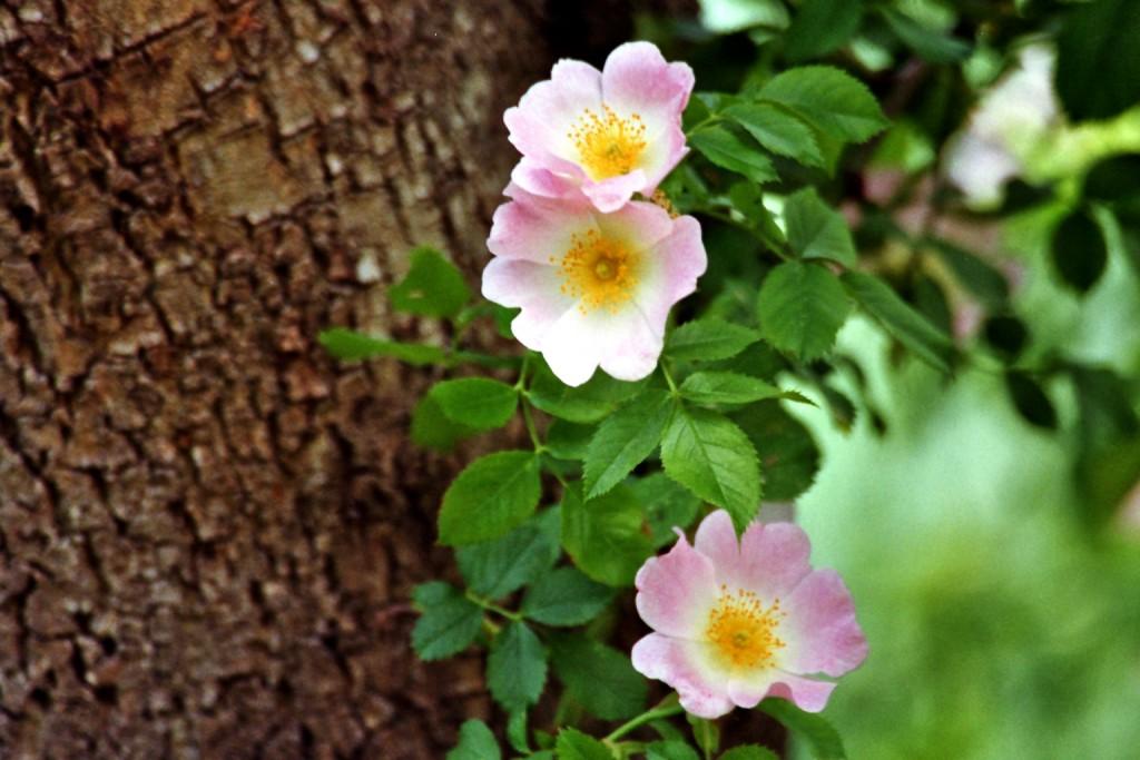 Wilde Rose bei Liepe
