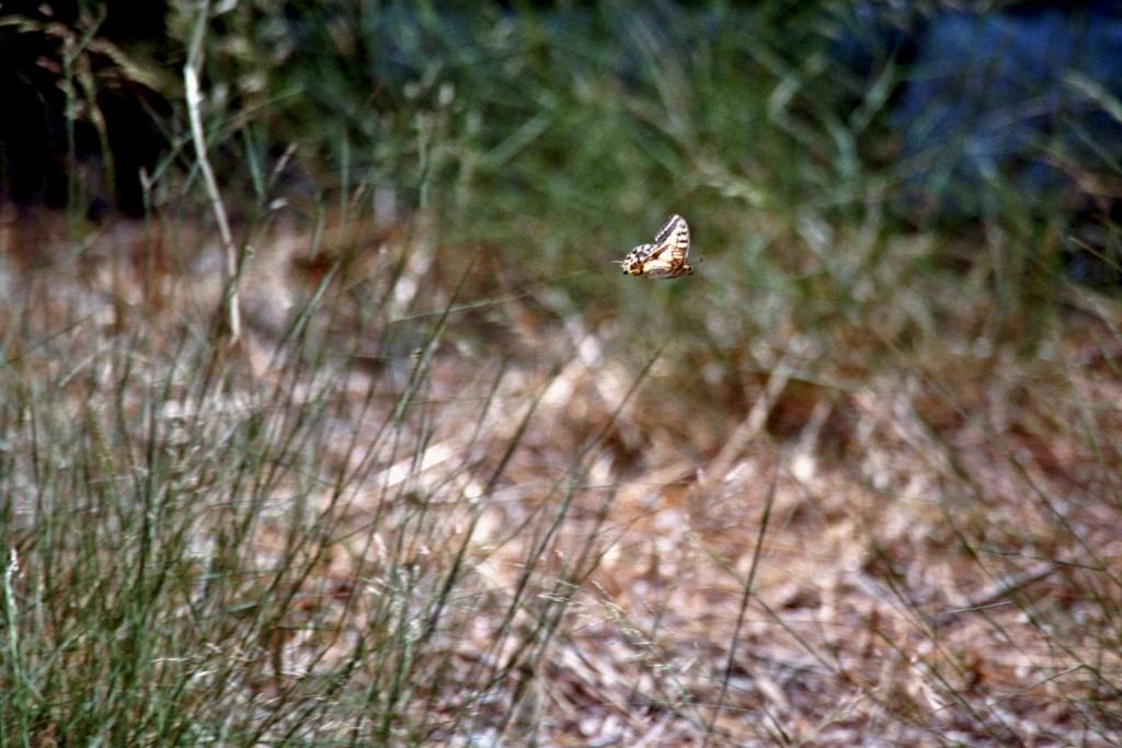 Ein Schwalbenschwanz im Flug