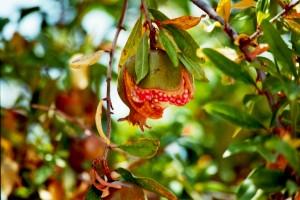Ein Granatapfel