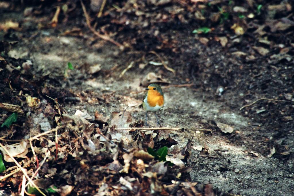 Rotkehlchen (Hasenheide)