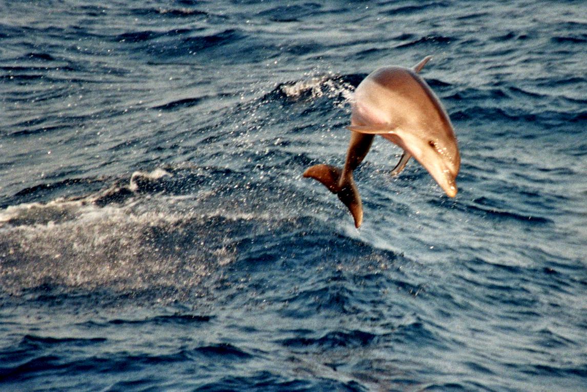 Delfine begleiten unser Schiff