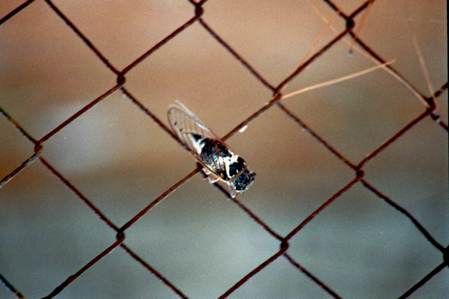 Zikade am Maschendrahtzaun 1