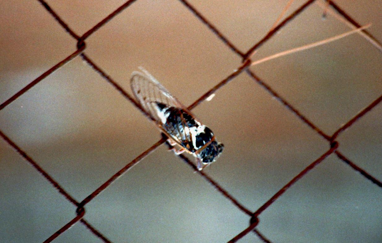 Zikade am Maschendrahtzaun 1 zoom