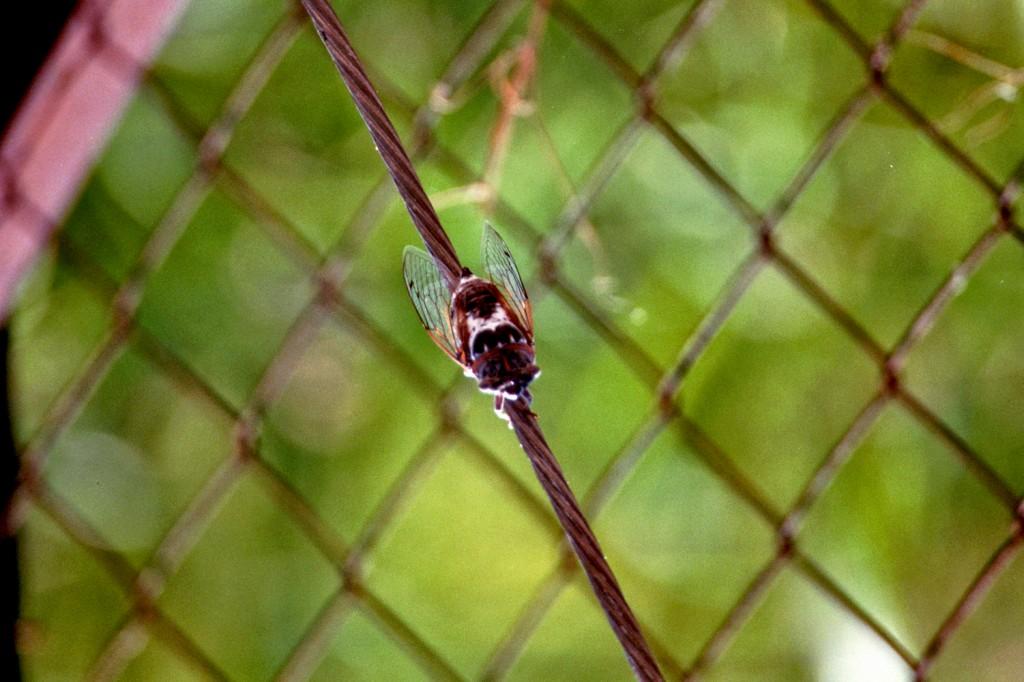Noch eine Zikade