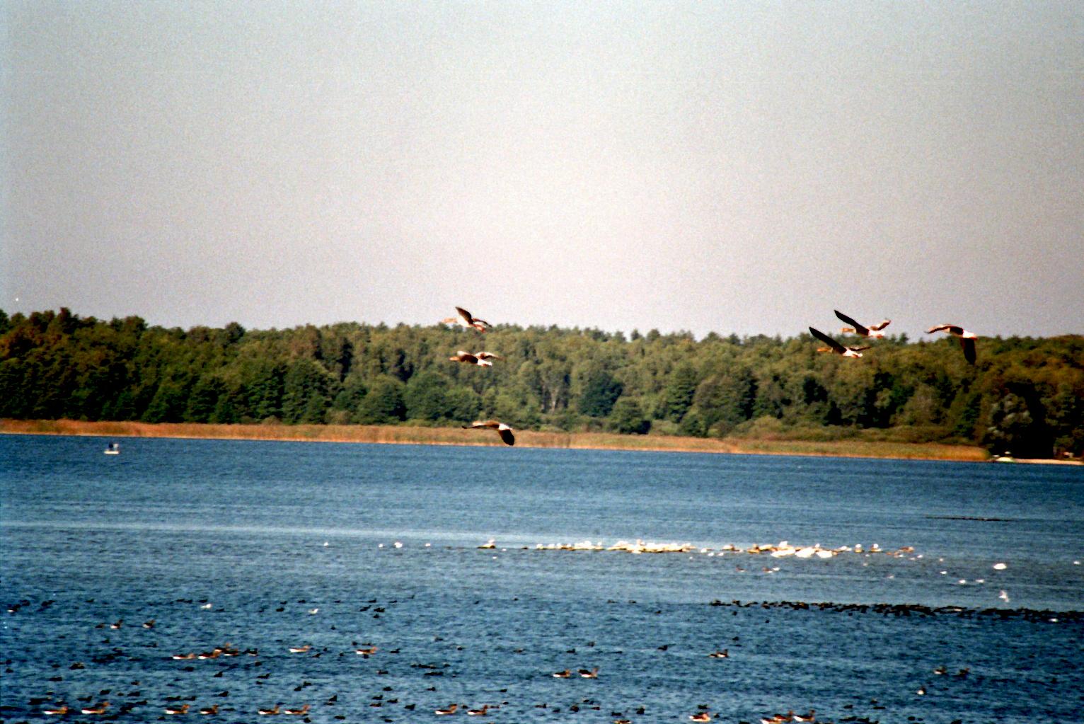 Grimnitzsee Fliegende Gänse