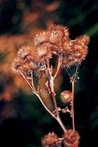 Herbstdistel
