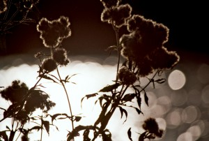 Herbstgewächs im Gegenlicht