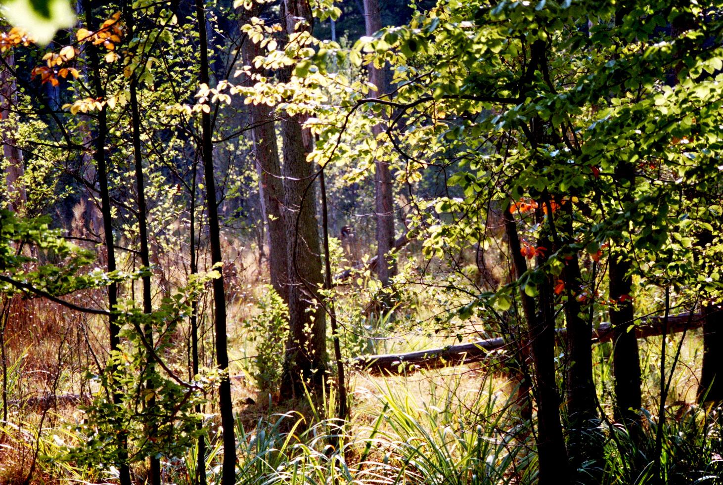 Herbstlicht im Grumsiner Forst
