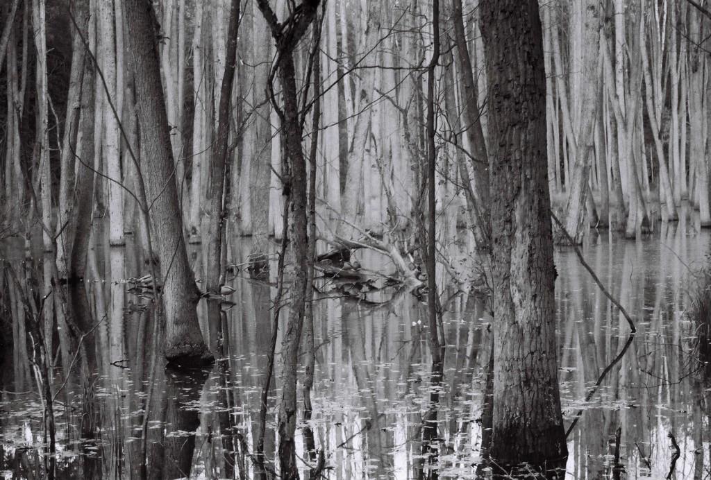 Enten auf dem Sumpfsee