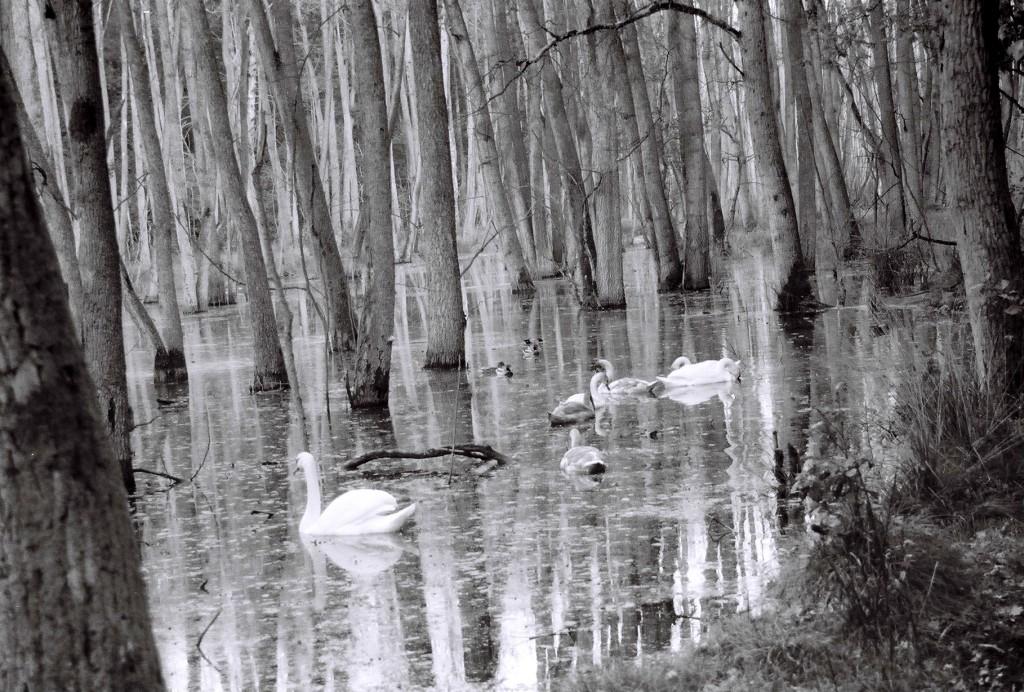 Schwäne auf dem Sumpfsee