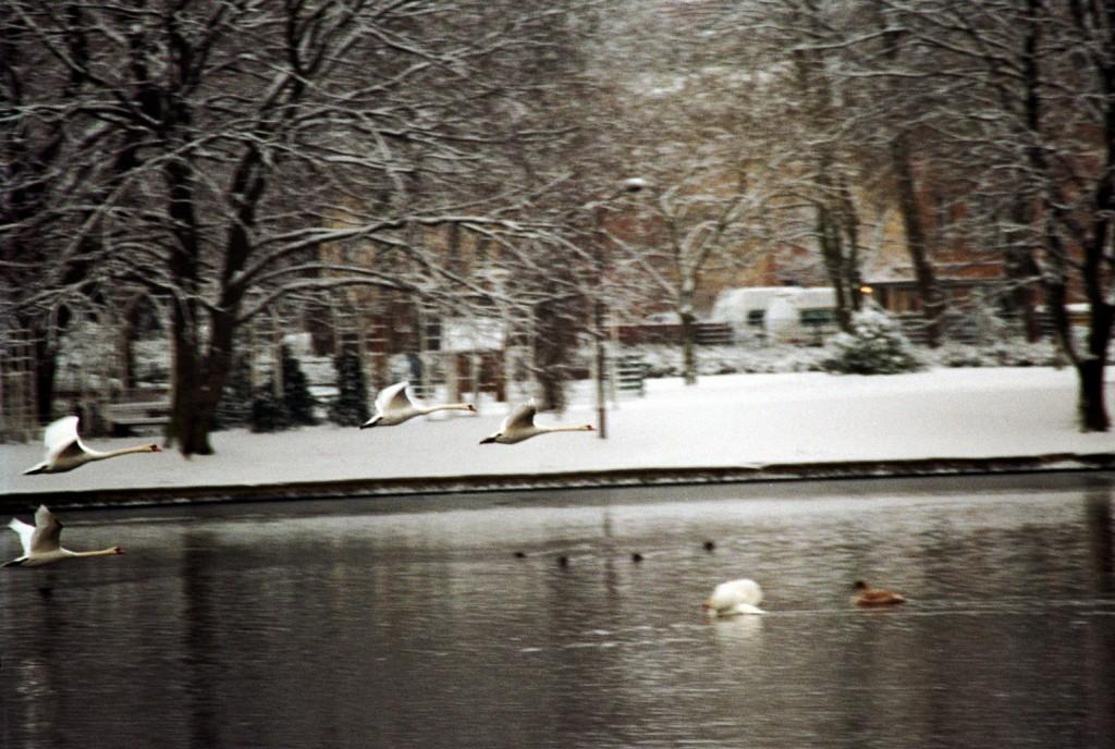 Schwäne im Winter