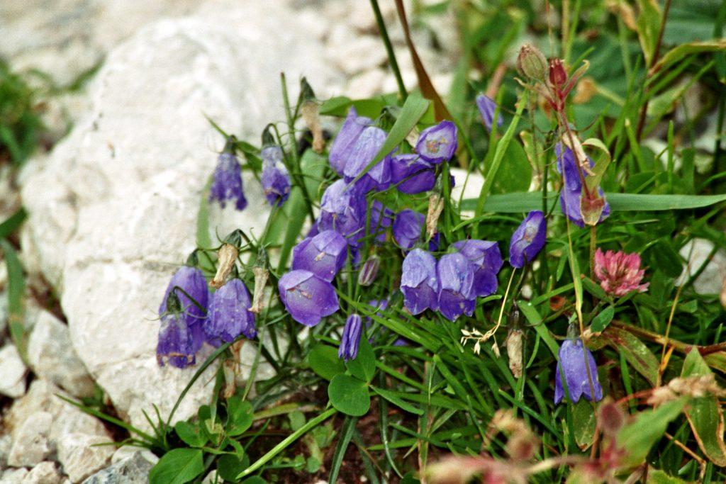 Rundblättrige Glockenblume (Campanula rotundifolia)