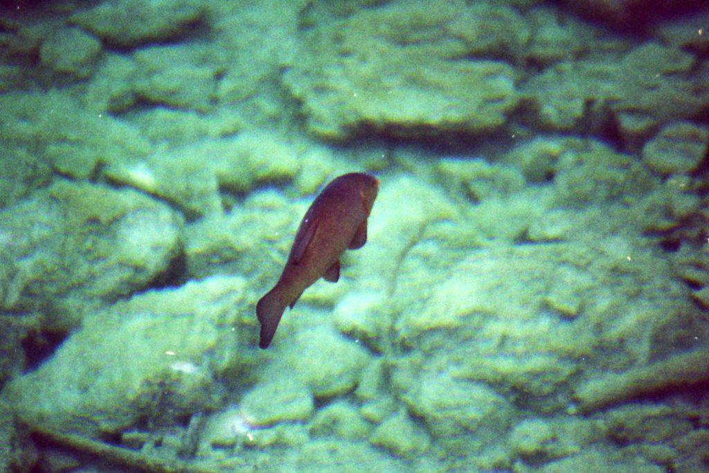 Eibsee-Fisch