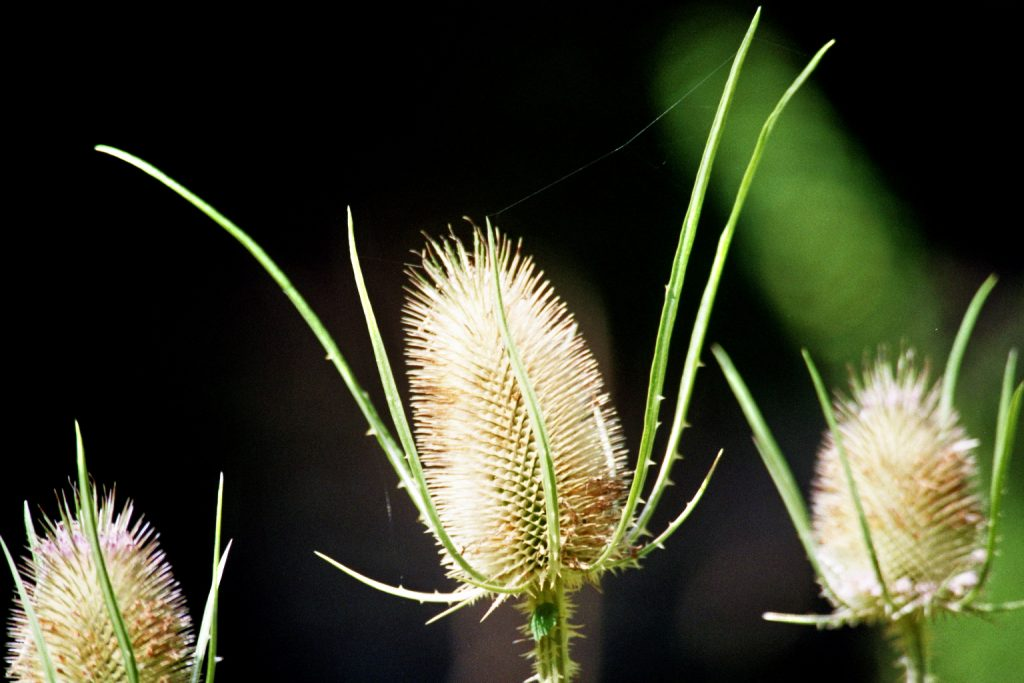 Wilde Karde (Dipsacus fullonum L)