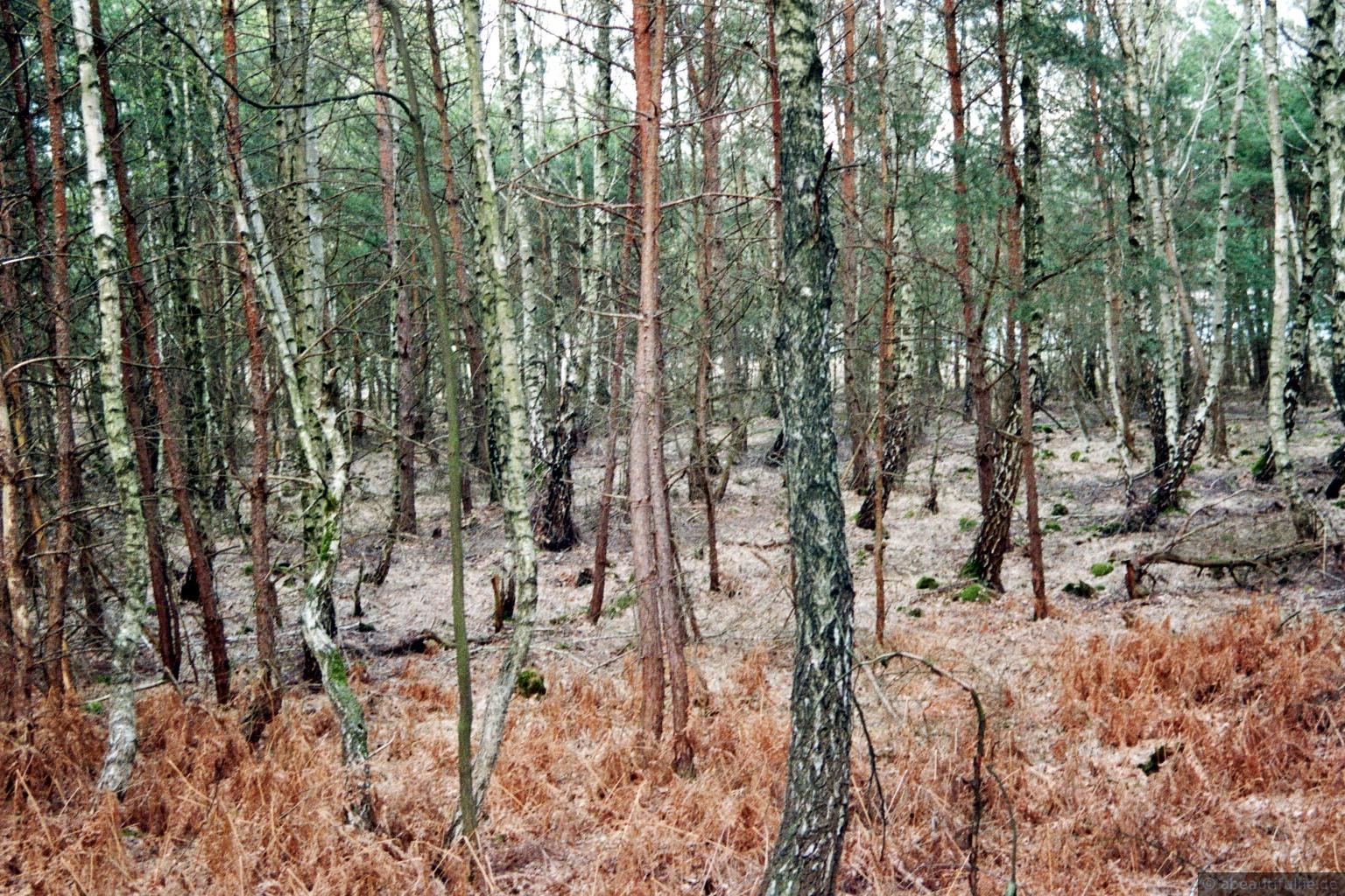 Birkenbruch am Luchsee