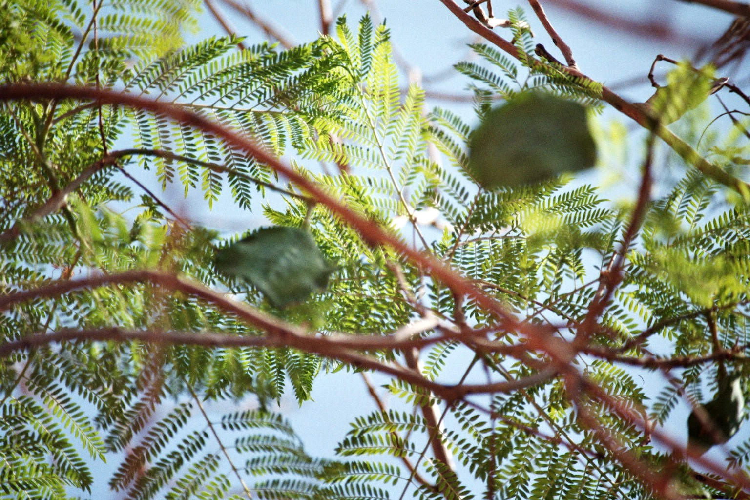 Palisanderholzbaum (Jacaranda mimosifolia)