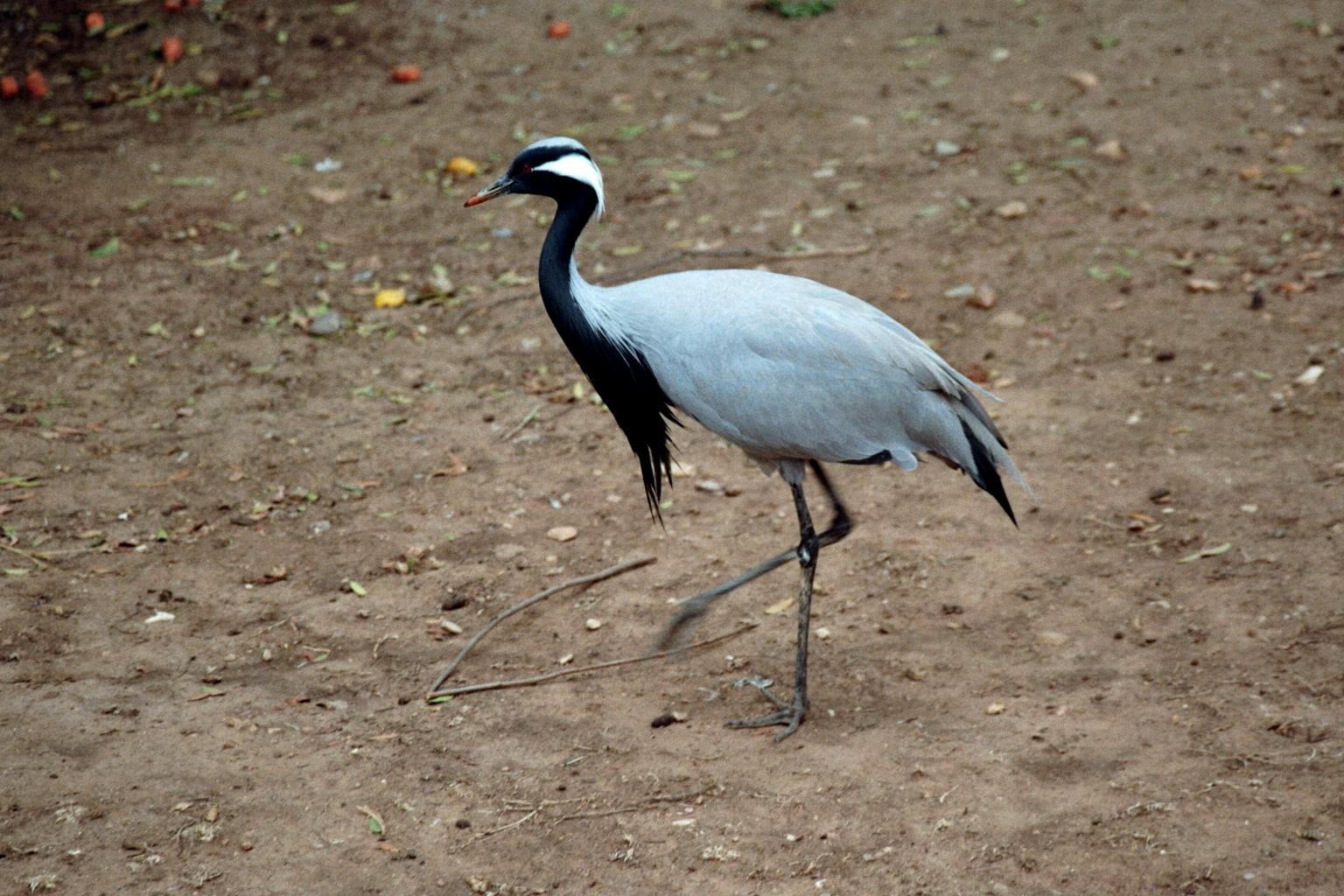 Kranich im Vogelpark