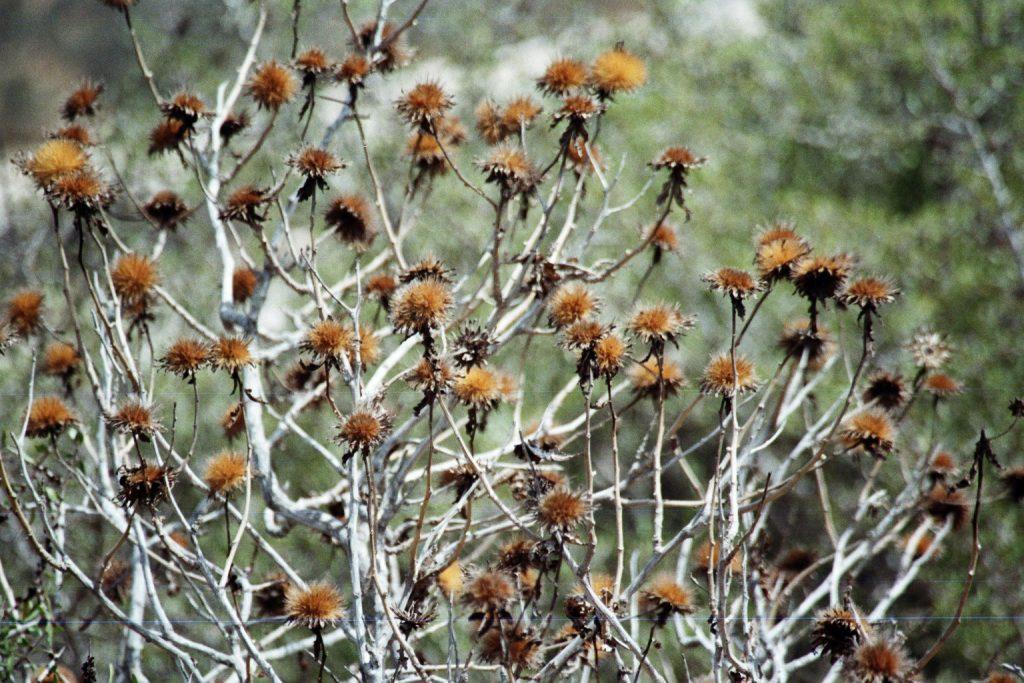 Trockenblumen auf der Kasbah