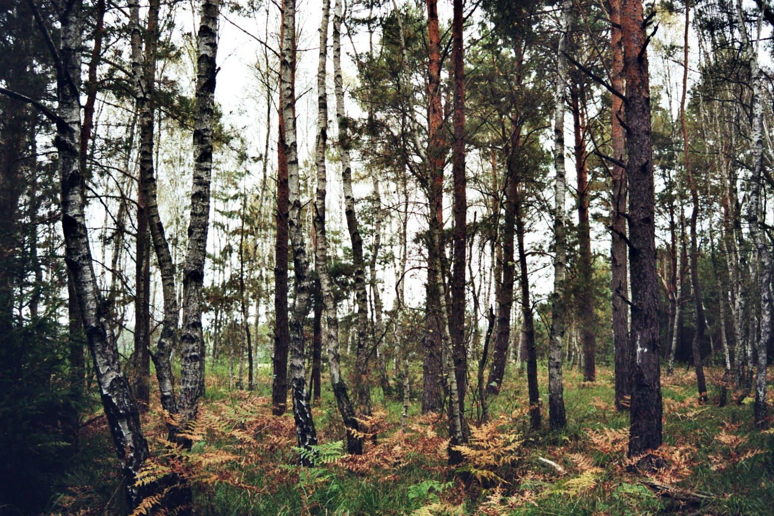 Birkenunterholz 2