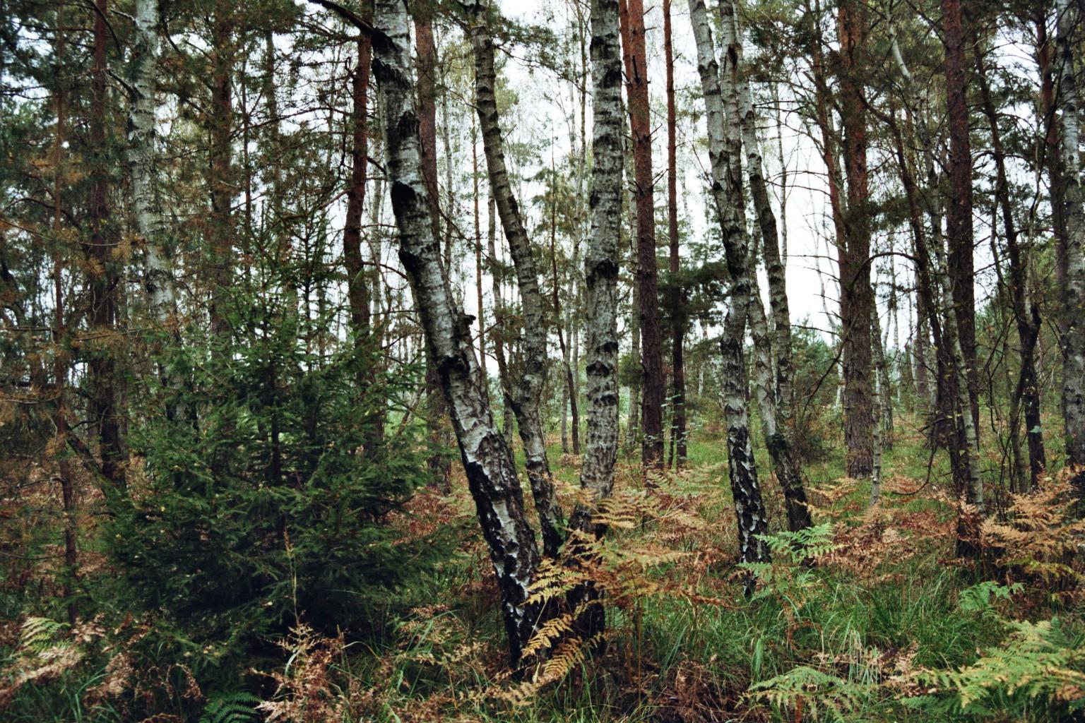 Birkenunterholz