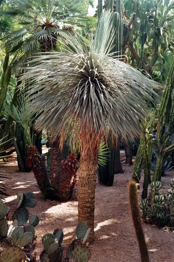 Schimchenbaum