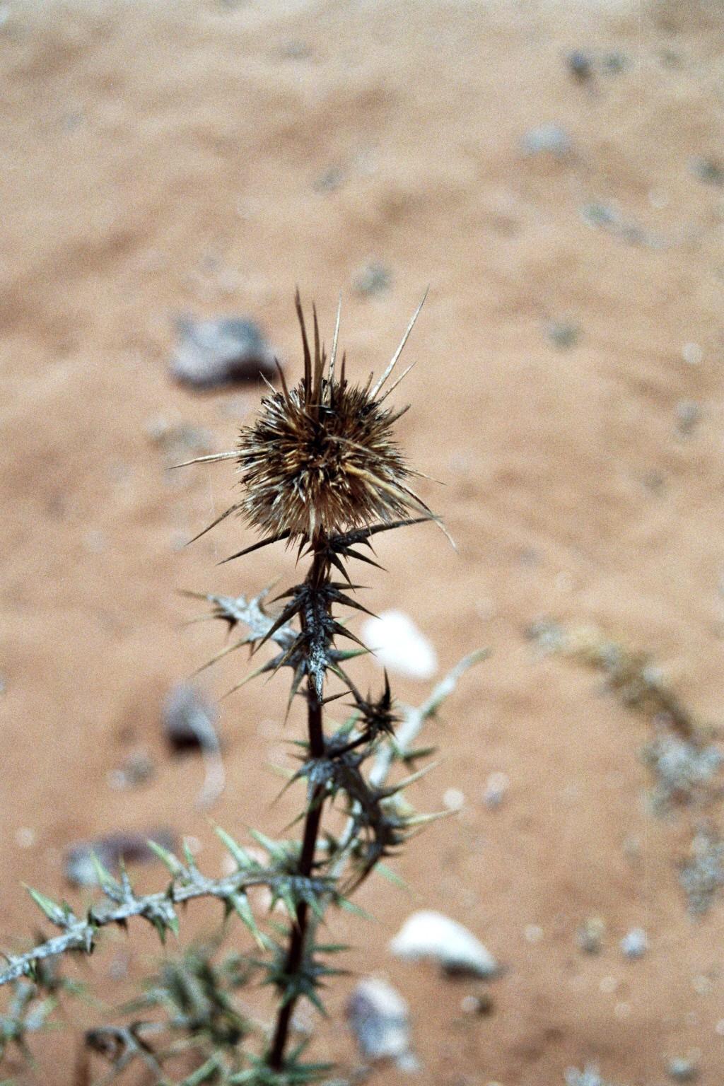 Wüstendistel
