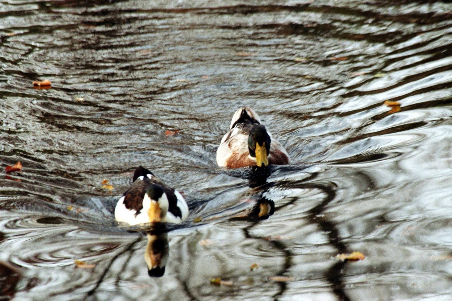 Entenwettschwimmen
