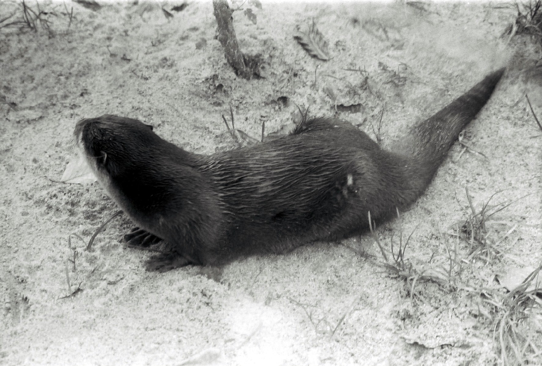Otto der Otter