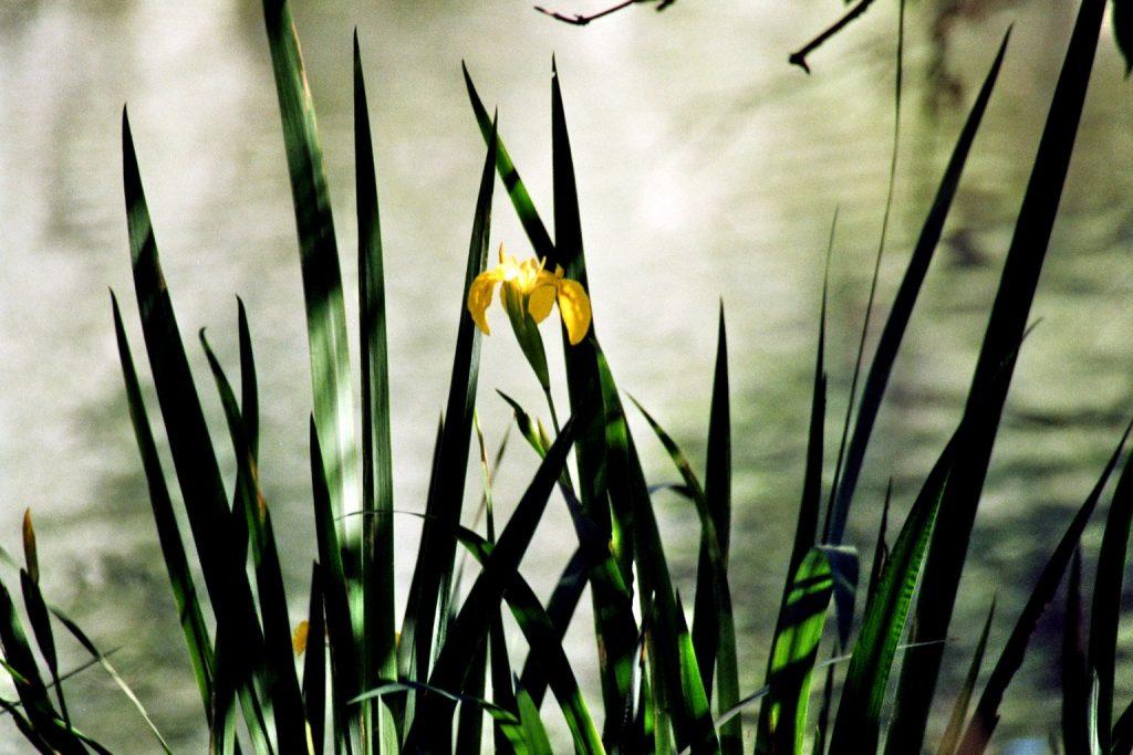 Schwertlilien im Halbschatten