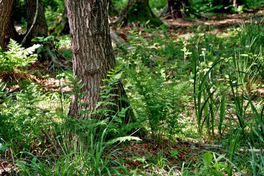 Waldboden mit Farn