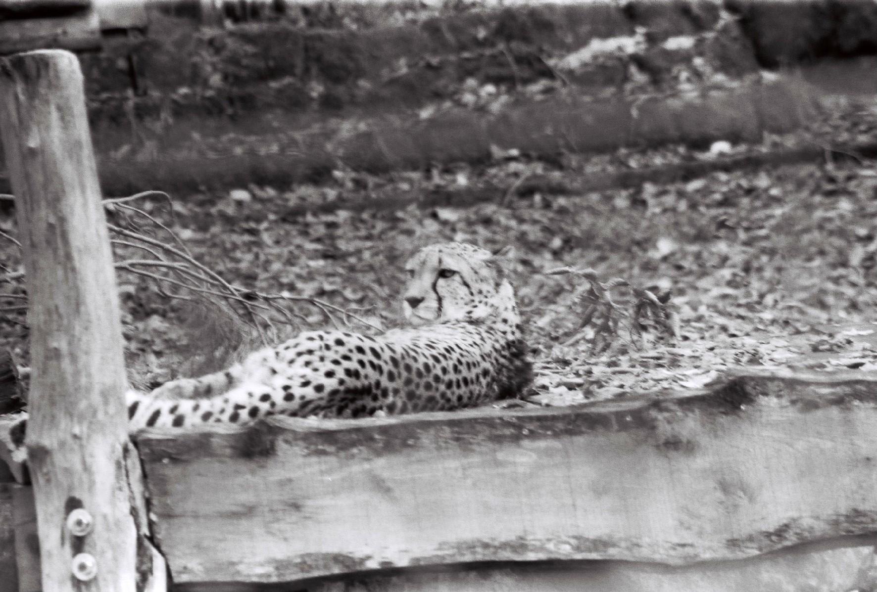 Watt willstn (Gepard)