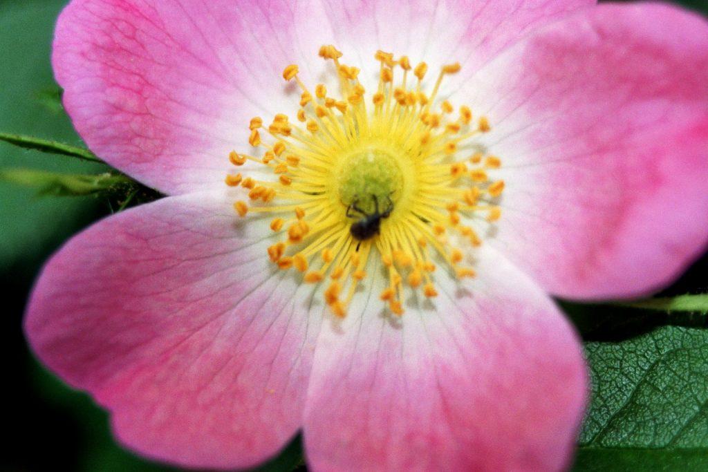 Wildrosenblüte mit Insekt