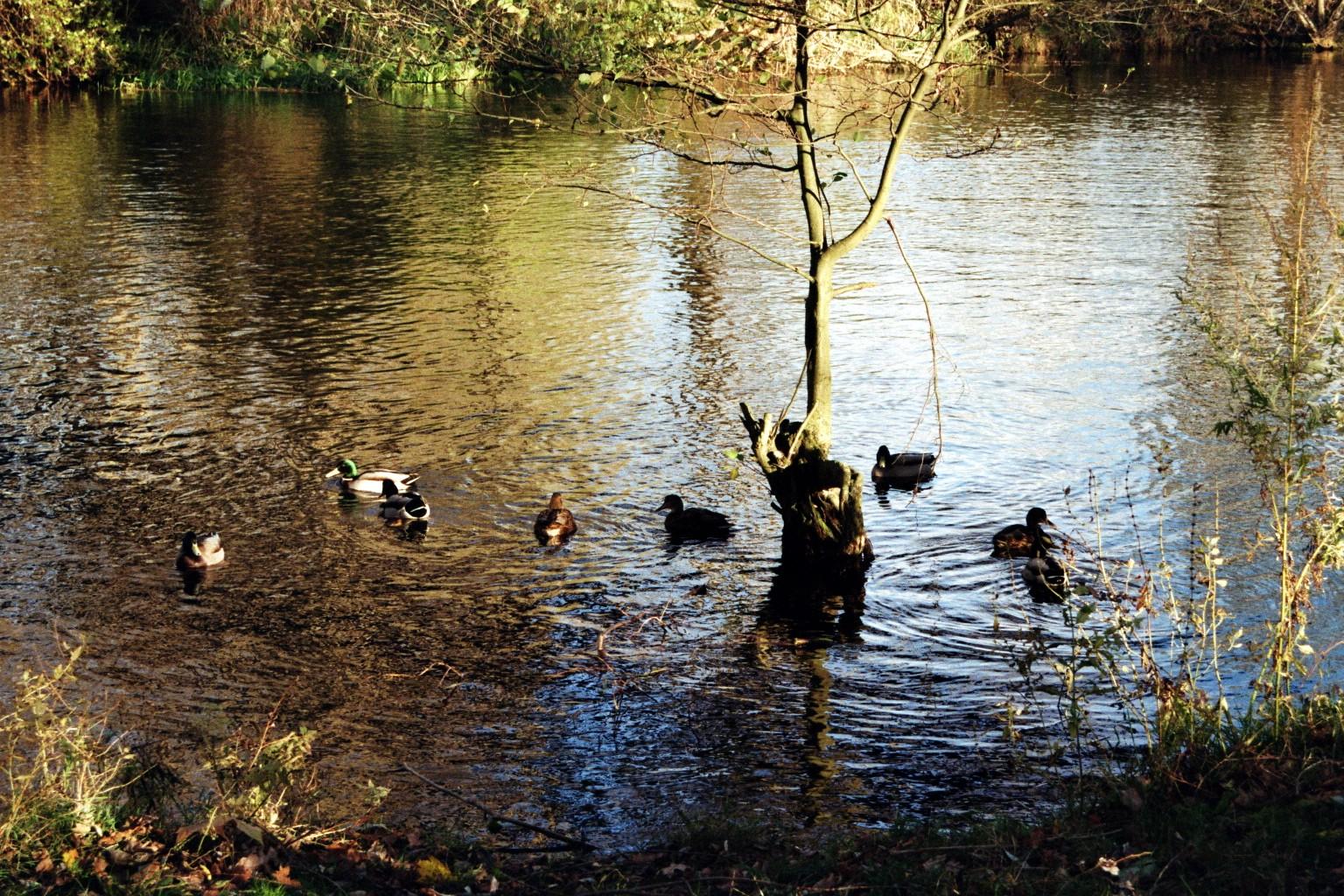 Enten auf der Havel