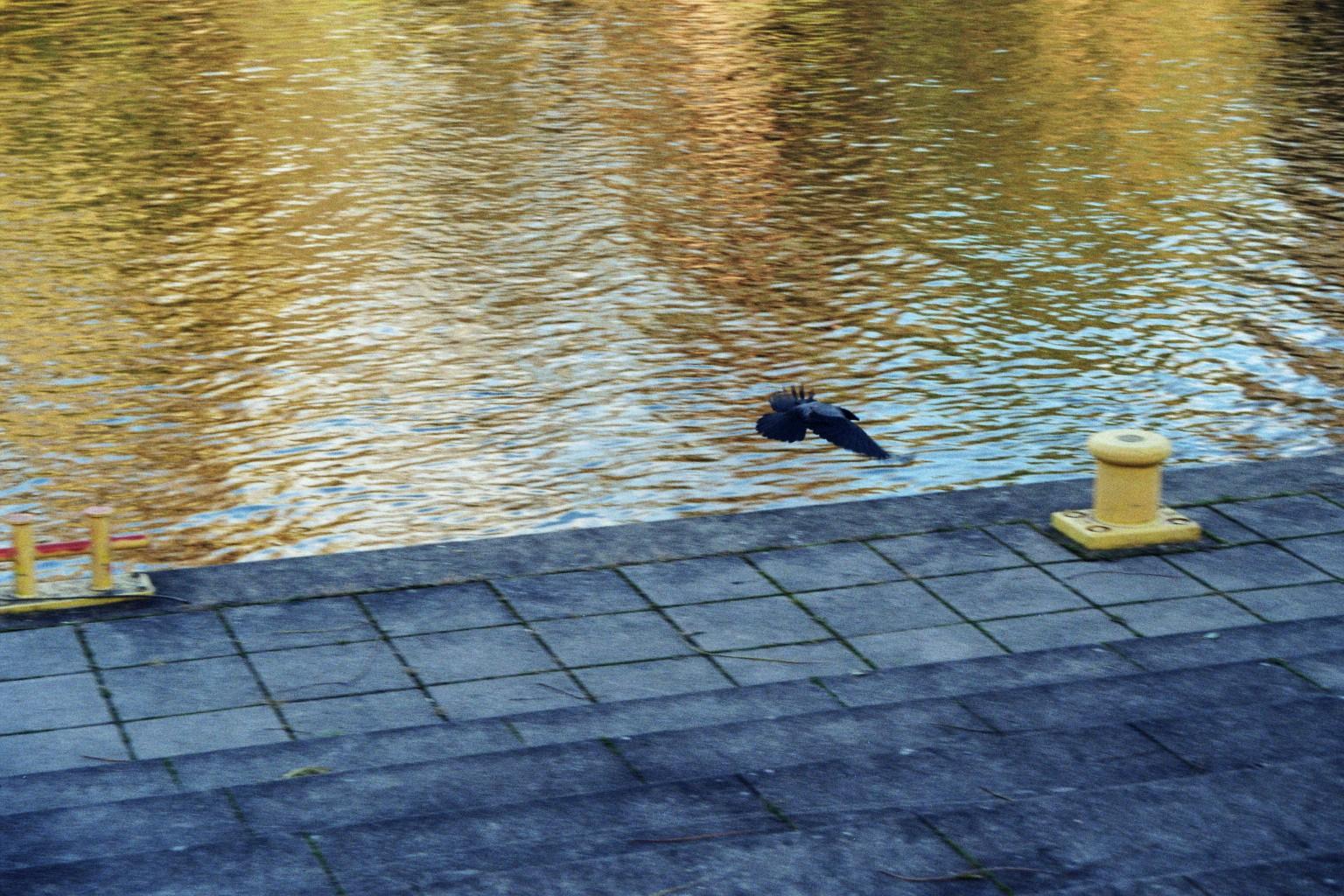 Krähe am Havelufer