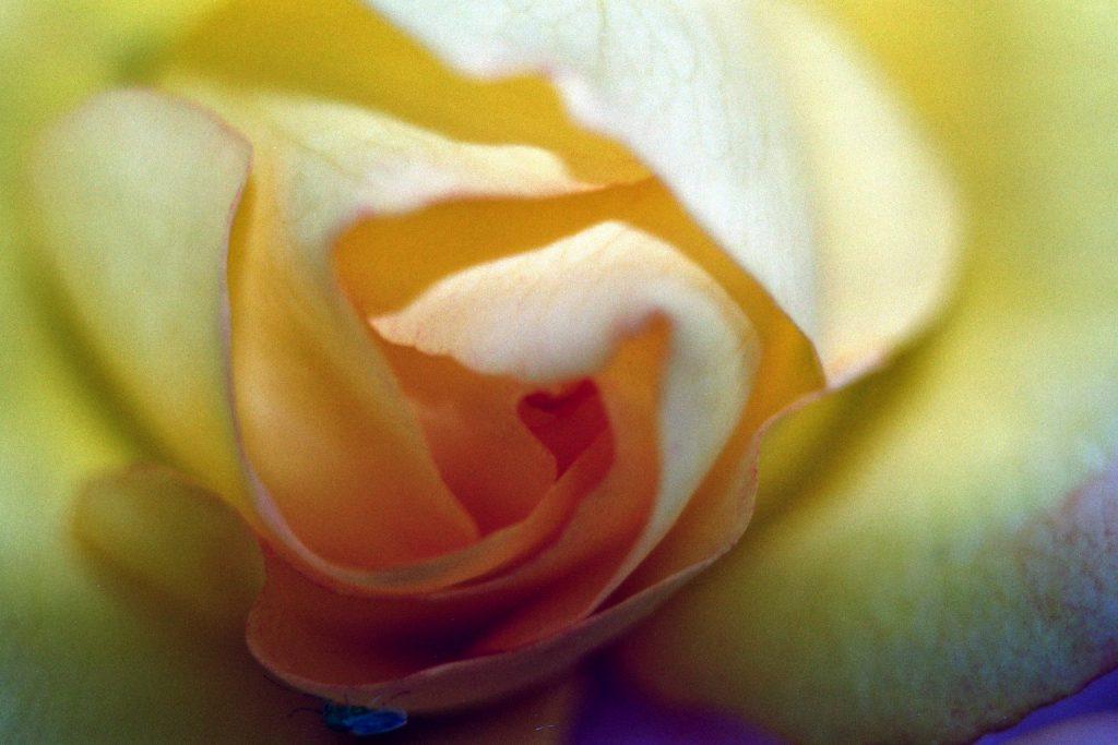 rose inside