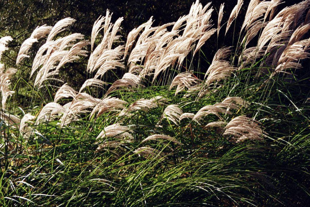 Ziergras im Wind