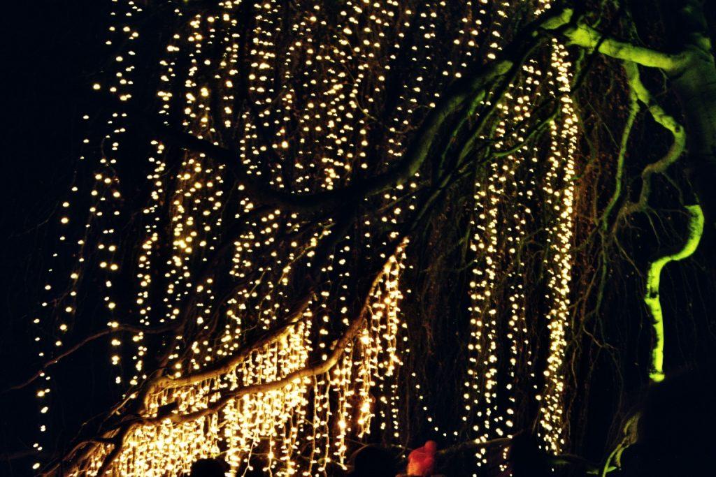 Leuchtende Weidenruten