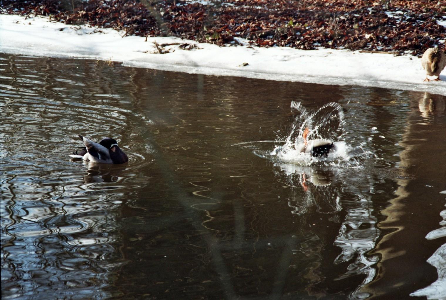 Ente flippt aus (2)