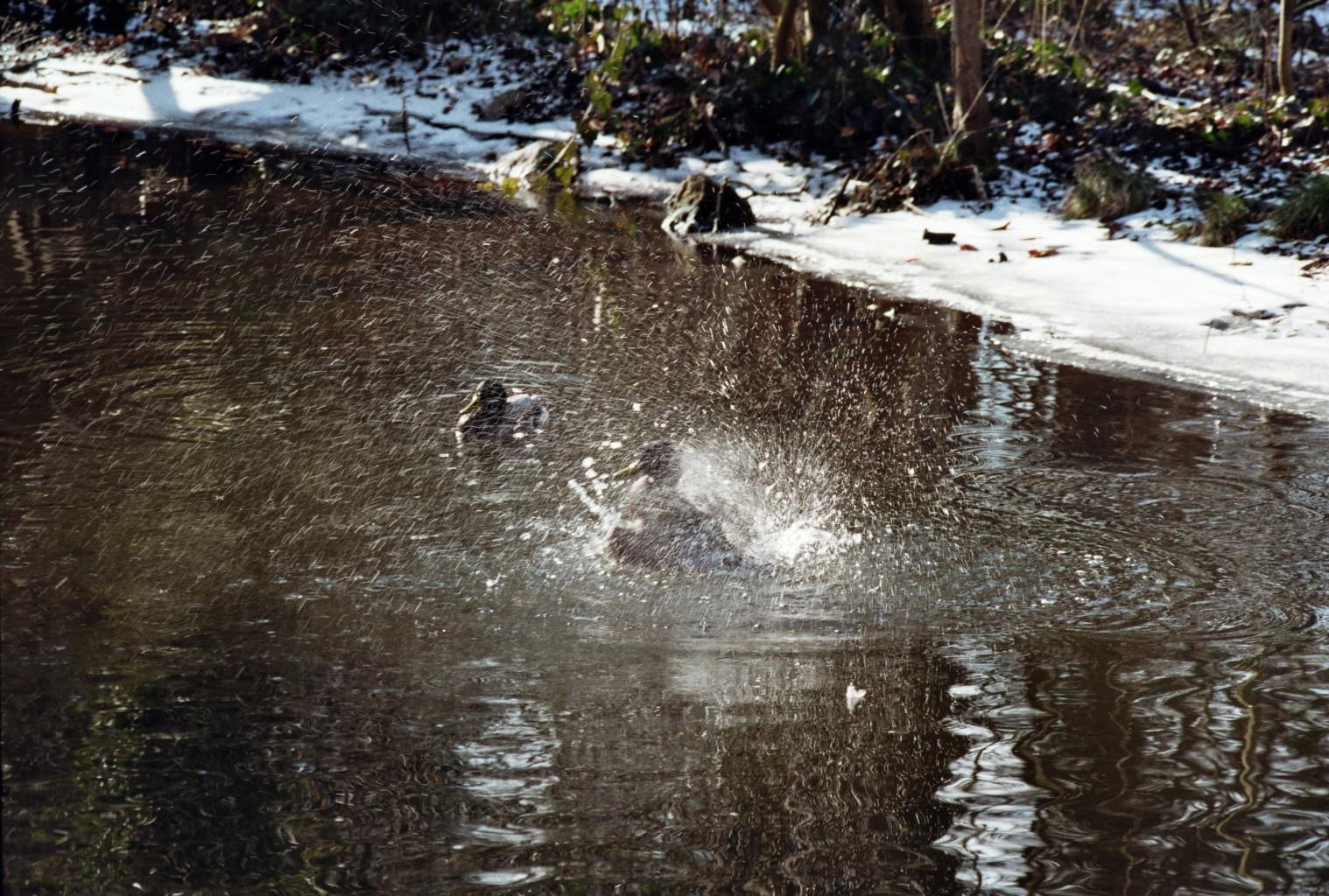 Ente flippt aus (3)
