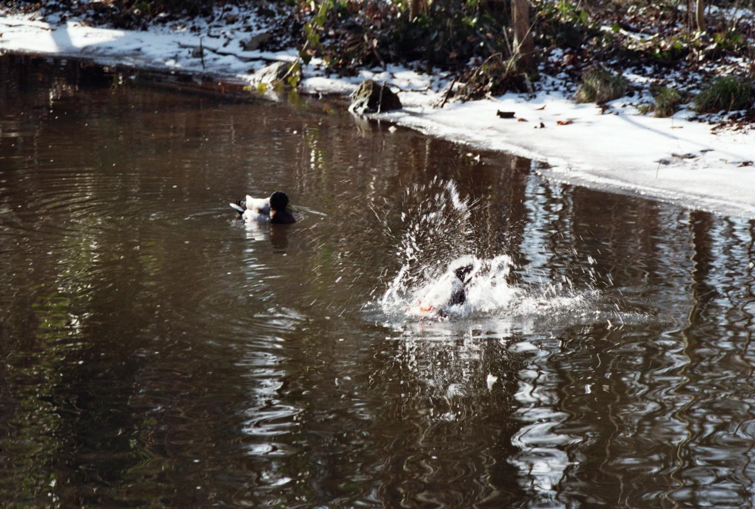 Ente flippt aus (4)