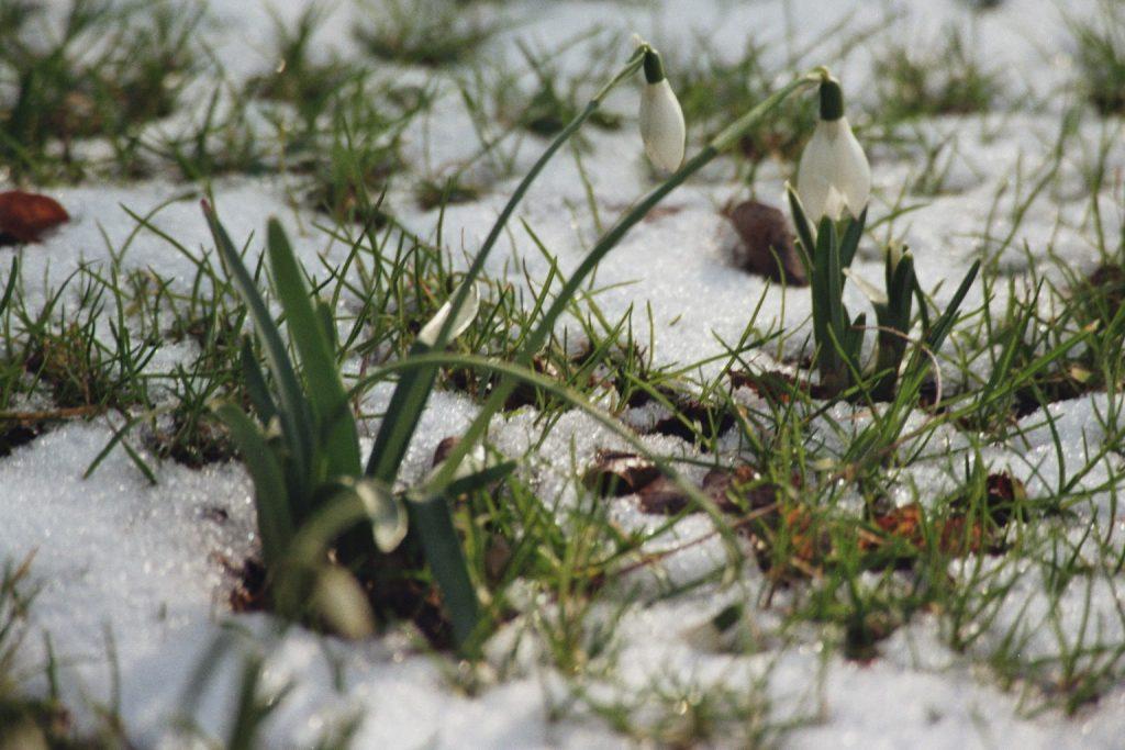 Schneeglöckchen im Goethepark