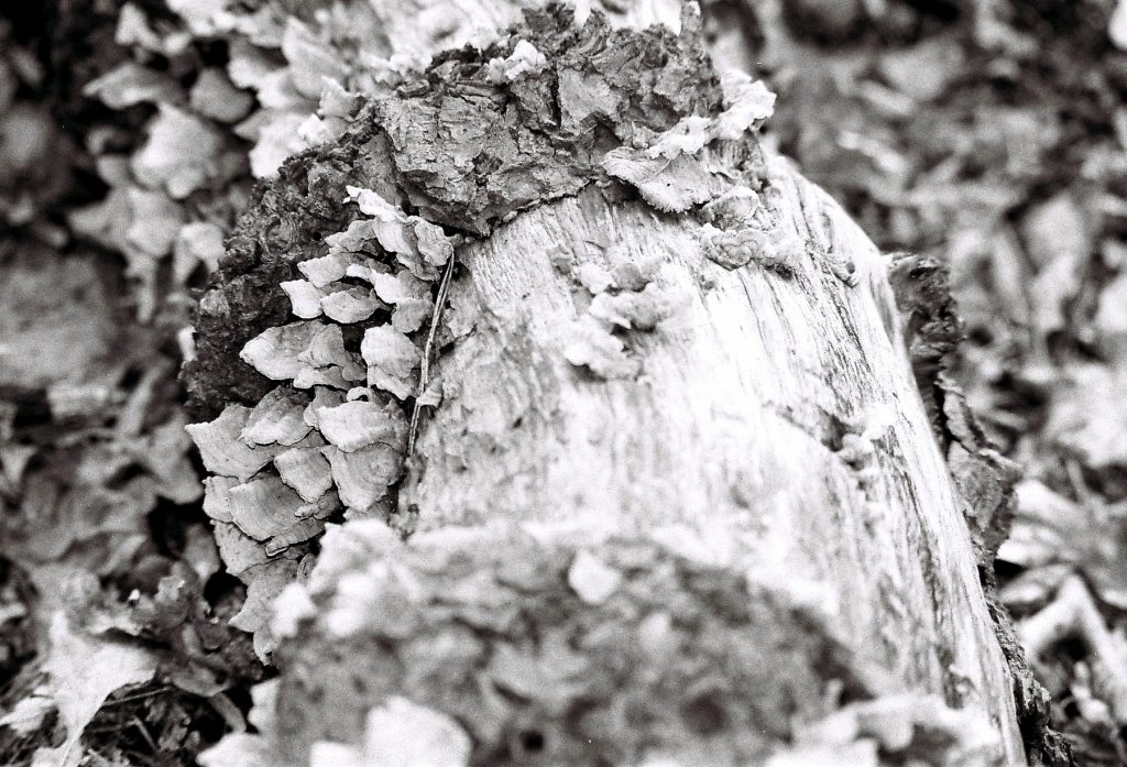 Schuppenbaum (2)