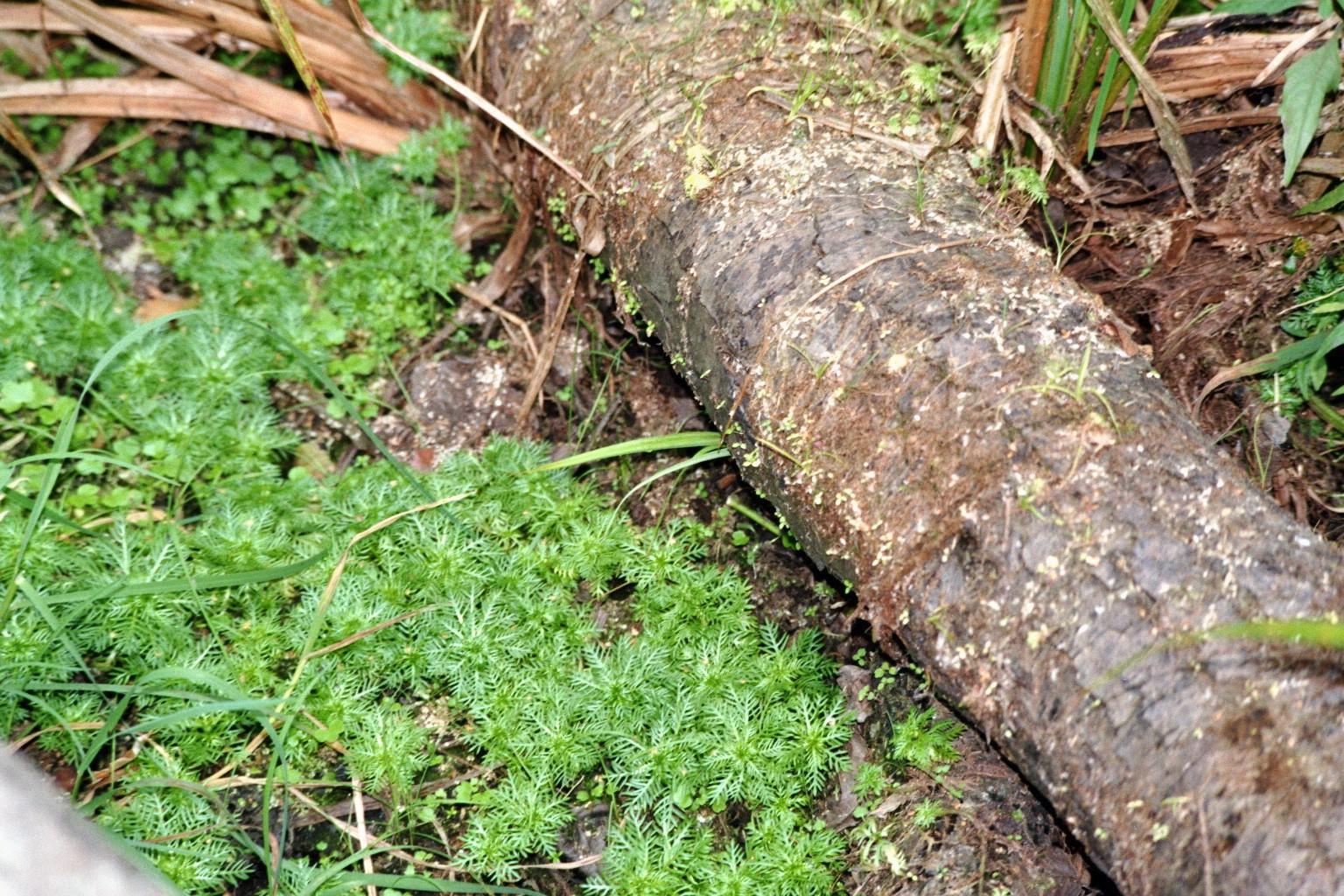 Hottonia palustris (Wasserfeder)