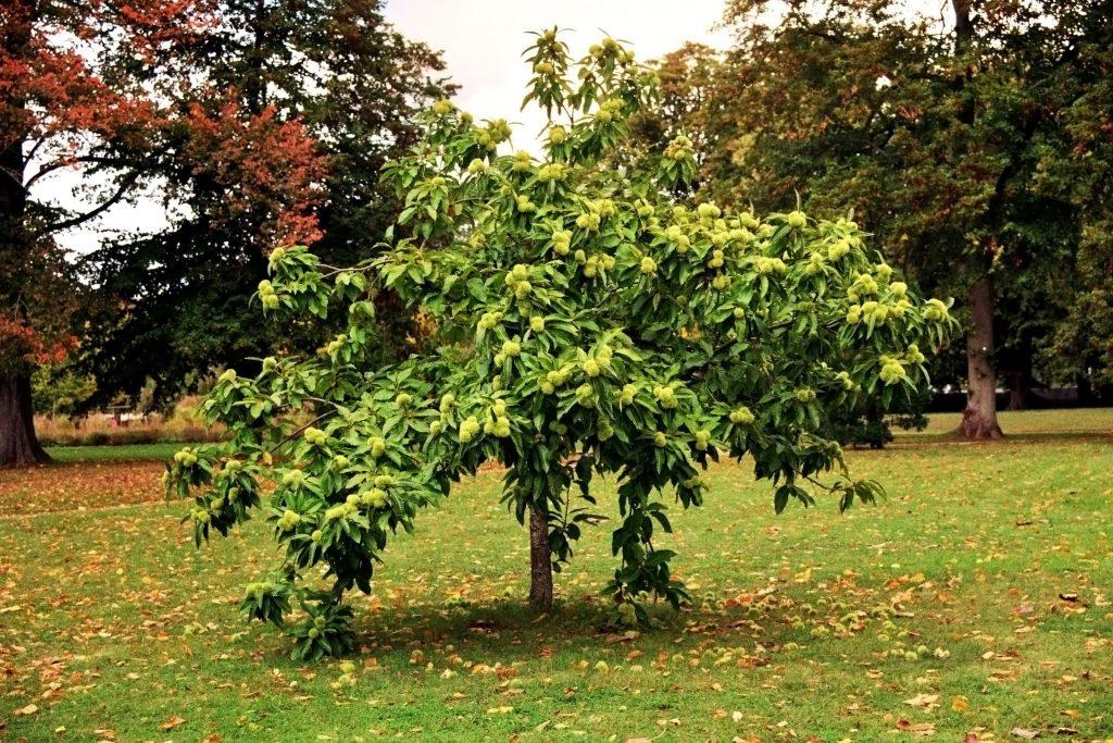 Maronenbaum, Esskastanienbaum