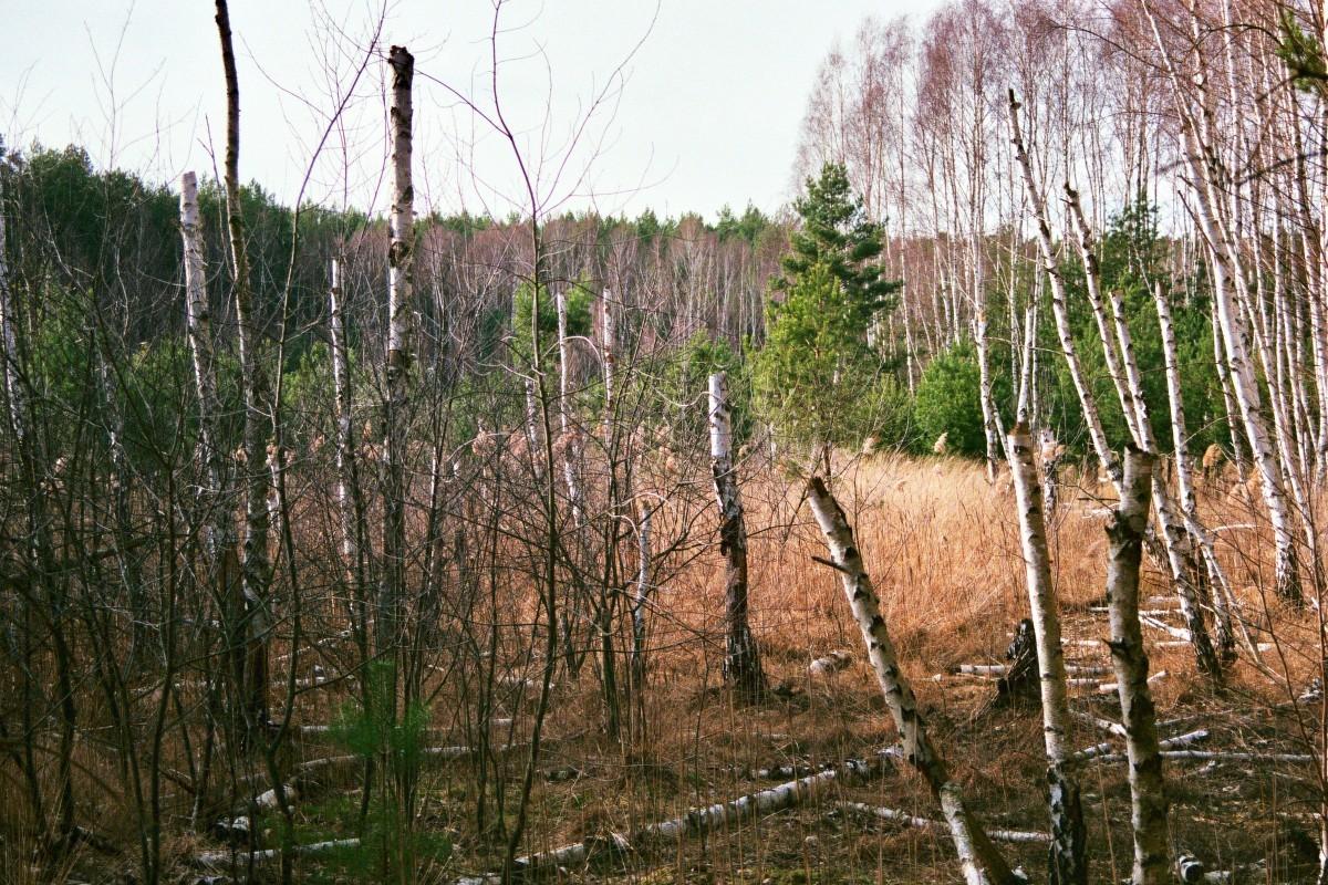 Birkenbruch am Barssee